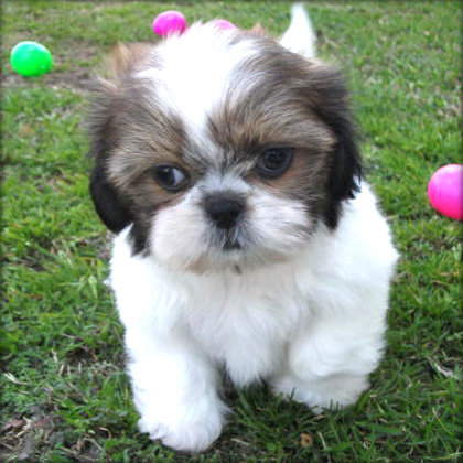 Shih Tzu Puppy For Sale - Sydney - Dogs for sale, puppies