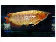 Best Arowanas now have in stock the above arowanas.