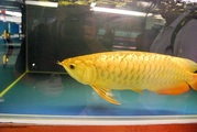 Arowana for sale at affordable prices