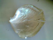 Art handycrafts of Indah creation(Bali)Sea shell fish ashtray