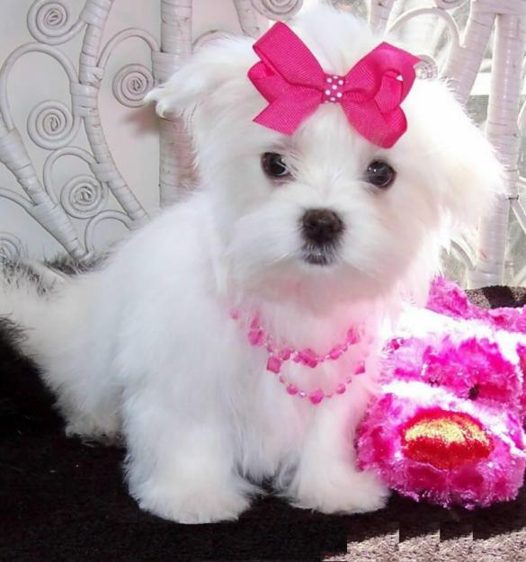 ... maltese puppies available for sale - Dogs for sale, puppies for sale