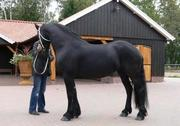 Beautiful and intelligent Friesian horse.
