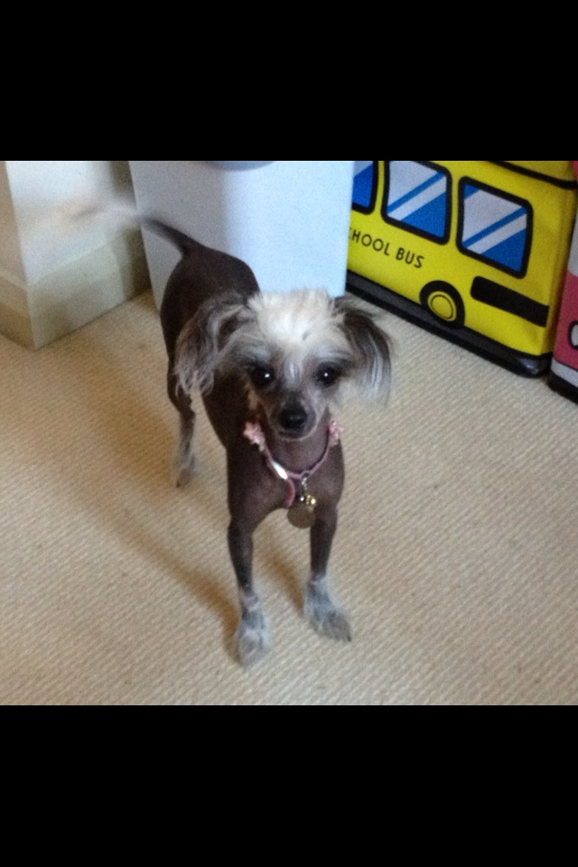 Chinese Crested Dog For Sale Australia