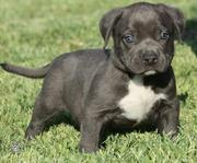 American Pit Bull Puppies Ready
