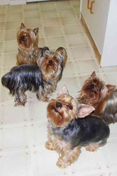 Yorkshire Terrier  Puppies for sale !!!