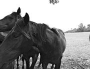 Photographs of 11 Australian Thoroughbreds Racehorses NSW