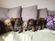CHOW CHOW PUPS READY NOW