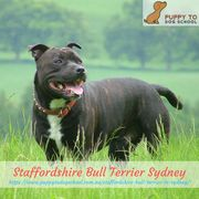 Staffordshire Bull Terrier Sydney