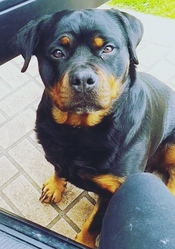 Rottweiler female fully obedient trained
