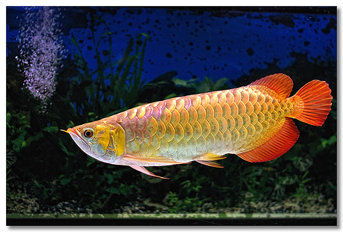 Arowanas for sale chili red super red golden x back rtg for Arowana fish for sale online