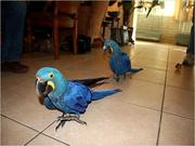 tamed hand fed Hyacinth Macaws needs a family