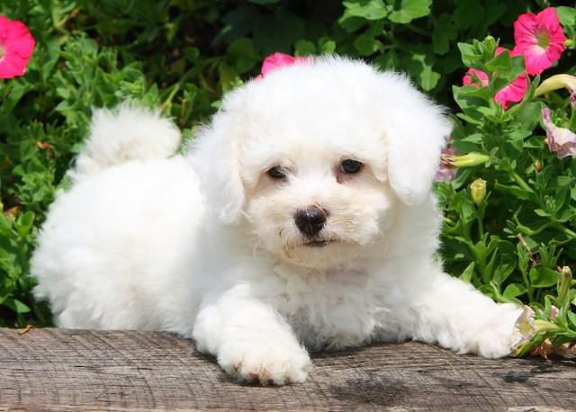 Gorgeous Bichon Frise puppies - Sydney - Dogs for sale ...