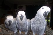 well trained african grey parrots for adoption now ready to go