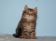 Siberian kittens for professional catteries