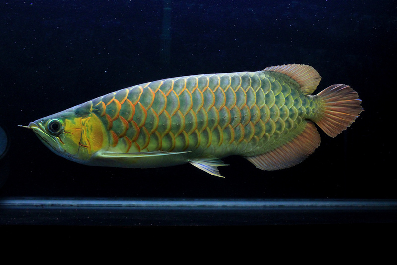 Super red arowana and other arowana fishes for sale for Dragon fish for sale