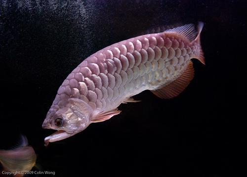 Arowanas for sale sydney fish for sale sydney 403600 for Dragon koi fish for sale