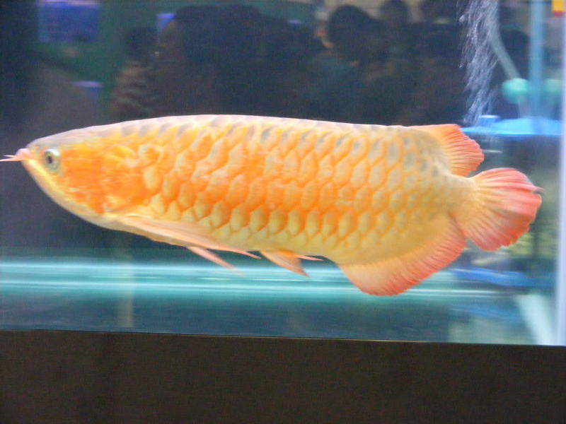 Magnificient arowana fishes for sale sydney fish for for Arowana fish for sale online